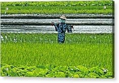 Rice Field - Okinawa Acrylic Print