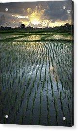 Rice Fields, Near Ubud Bali, Indonesia Acrylic Print by Huy Lam