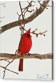 Righteous Cardinal Acrylic Print