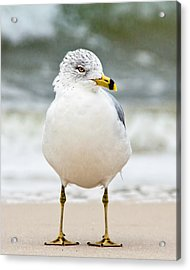 Ring-billed Gull Acrylic Print