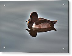 Acrylic Print featuring the photograph Ring-necked Duck by Tam Ryan