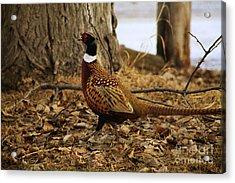 Ring-necked Pheasant Acrylic Print