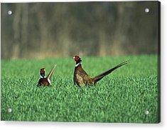 Ring-necked Pheasant Phasianus Acrylic Print by Konrad Wothe