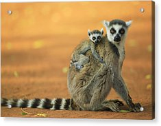 Ring-tailed Lemur Mother And Baby Acrylic Print by Cyril Ruoso