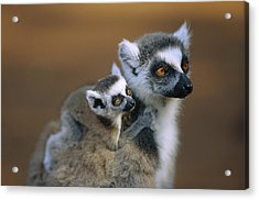 Ring-tailed Lemur Mother Carrying Baby Acrylic Print by Cyril Ruoso