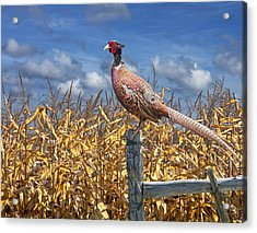Ringneck Pheasant Acrylic Print by Randall Nyhof