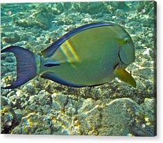 Ringtail Surgeonfish Acrylic Print by Michael Peychich