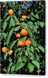 Ripe Apricots Growing On A Branch Acrylic Print by Kaj R. Svensson