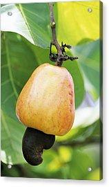 Ripe Cashew Nut Acrylic Print by David Nunuk