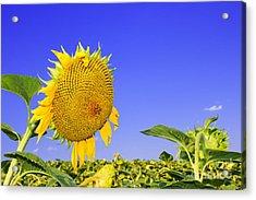 Ripening Sunflower Head  Acrylic Print by Volodymyr Chaban