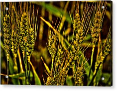 Ripening Wheat Acrylic Print by David Patterson