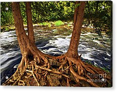 River And Roots Acrylic Print by Elena Elisseeva