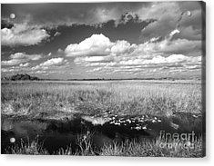 River Of Grass - The Everglades Acrylic Print by Myrna Bradshaw