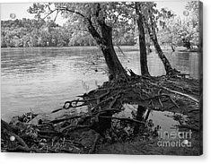 River-washed Roots Acrylic Print by Susan Isakson