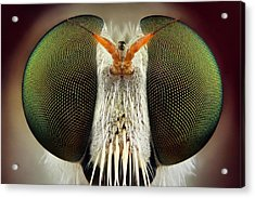 Robber Fly Acrylic Print by Yousef Al Habshi