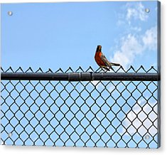 Robin Bird Sitting On A Fence Acrylic Print
