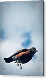 Robin Acrylic Print by Jason Heckman