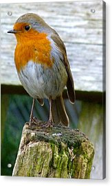 Robin Acrylic Print by Karen Grist