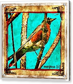 Robin Perch  Acrylic Print