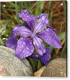 Acrylic Print featuring the photograph Rock Iris by Coby Cooper