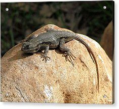 Rock Lizard Acrylic Print by Wendy McKennon