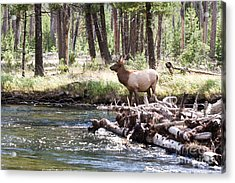 Rocky Mountain Elk Acrylic Print by Cindy Singleton