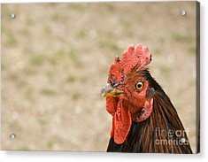 Rooster Acrylic Print by Igor Kislev