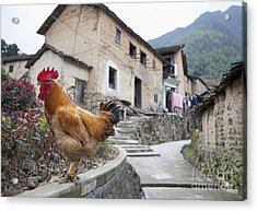 Rooster On A Roadside Wall Acrylic Print by Shannon Fagan