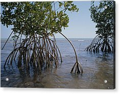 Root Legs Of Red Mangroves Extend Acrylic Print by Medford Taylor