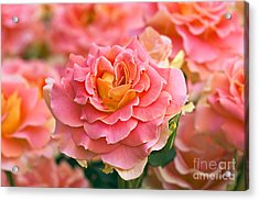 Rosa 'brass Band' Acrylic Print by Alan Detrick and Photo Researchers
