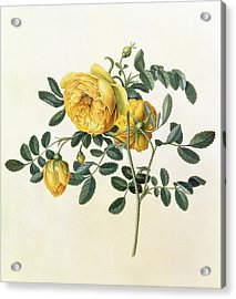 Rosa Hemispherica Acrylic Print by Georg Dionysius Ehret