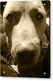 Roscoe Pitbull Eyes Acrylic Print by Kym Backland