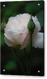 Rose - White Acrylic Print by Dickon Thompson