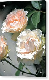 Rose 125 Acrylic Print by Pamela Cooper