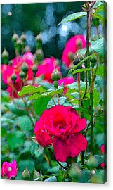 Rose 132 Acrylic Print by Pamela Cooper