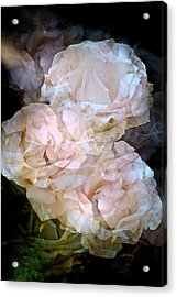 Rose 145 Acrylic Print by Pamela Cooper