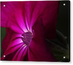 Rose Campion  Acrylic Print by Andrew Pacheco