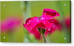 Acrylic Print featuring the photograph Rose Campion by Ronda Broatch