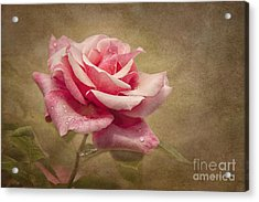 Rose Delight Acrylic Print by Cheryl Davis