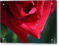 Rose Drop Acrylic Print by Louise Mingua