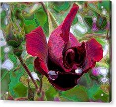 Rose Emerging Acrylic Print