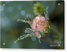 Rose Flower Series 9 Acrylic Print by Heiko Koehrer-Wagner