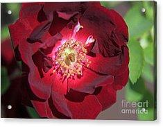 Rose Glow Acrylic Print by Shawn Naranjo