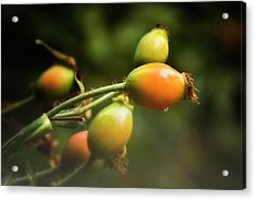 Acrylic Print featuring the photograph Rose Hips by Albert Seger
