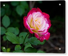 Rose IIi Acrylic Print by Tim Fitzwater