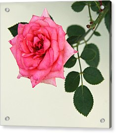Acrylic Print featuring the photograph Rose In Full Bloom by Brooke T Ryan