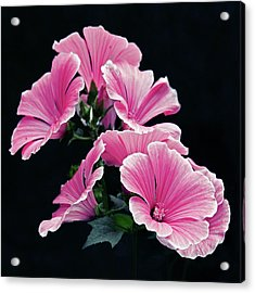 Rose Mallow Acrylic Print by Tanjica Perovic Photography