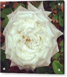 #rose Acrylic Print