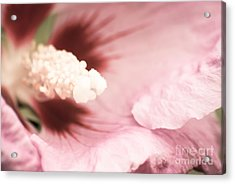 Rose Of Sharon Acrylic Print by Hannes Cmarits
