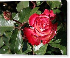 Acrylic Print featuring the photograph Rose by Paula Tohline Calhoun